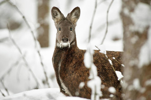 Musk deer.jpg